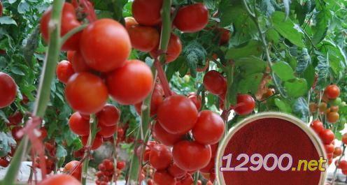 番茄�t素
